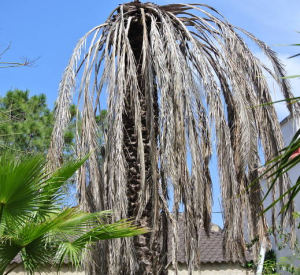 aangetaste palm