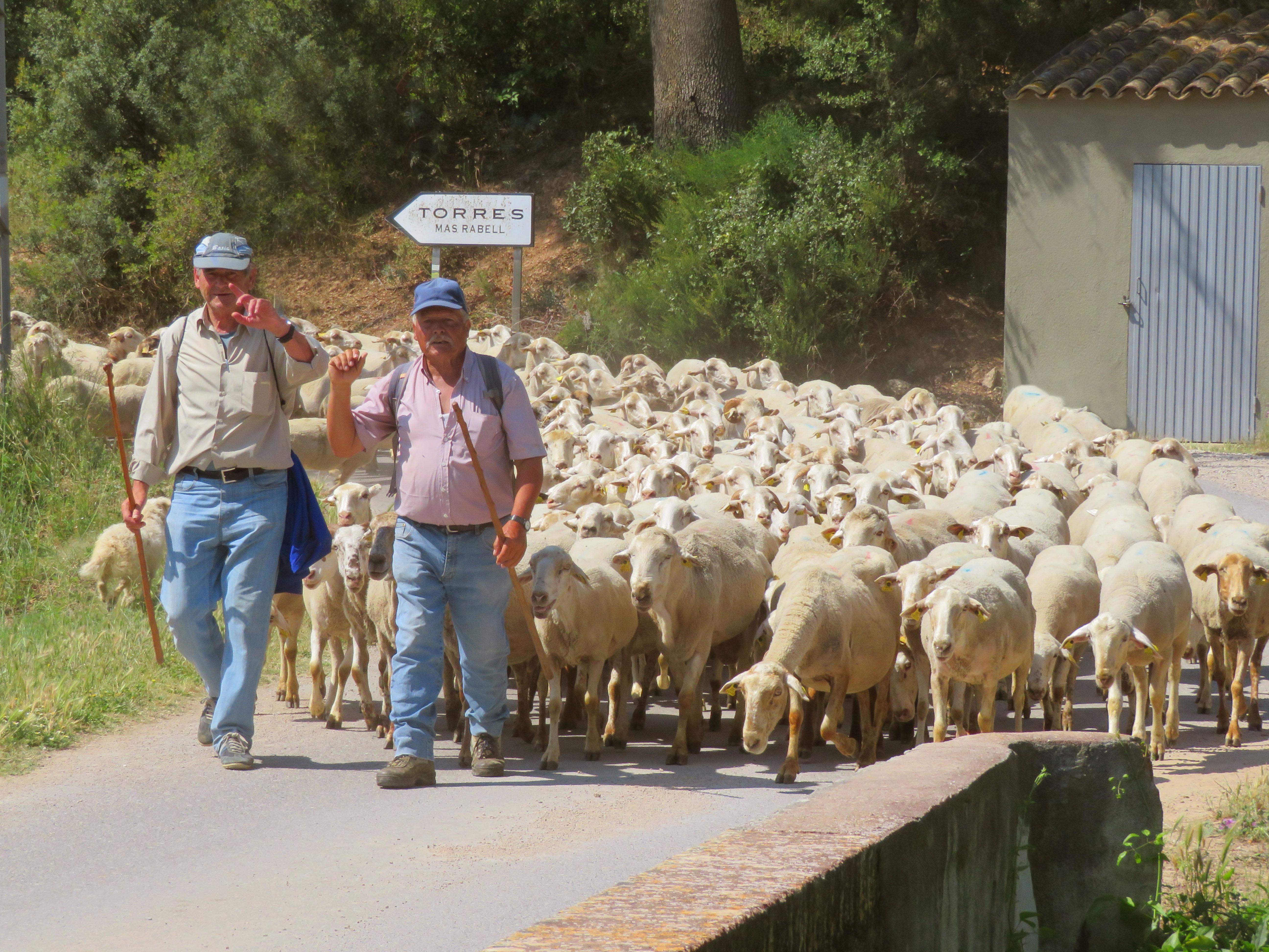 schapen op landweg in de Penedes